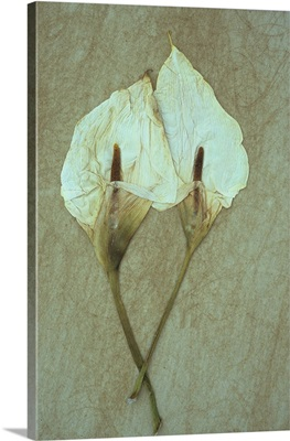 Two dried flowerheads of Arum or Calla lily lying on rough board