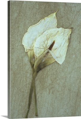Two dried flowerheads of Arum or Calla lily lying on rough board II