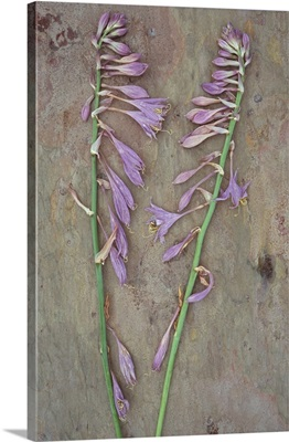 Two dried stems of lilac coloured flowers of Plantain lily