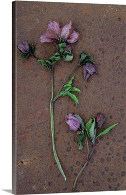 Two dying stems of Lenten rose