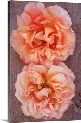 Two Rosa Sallys Flowers