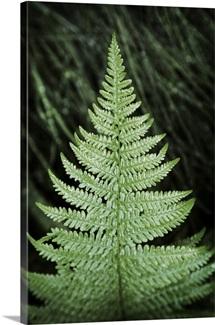 Fern Leaf Tree