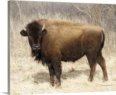 American Bison I