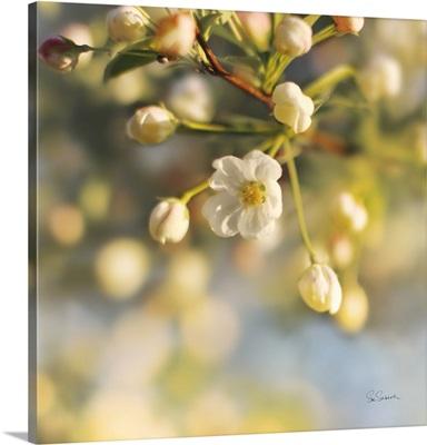 Blush Blossoms II Square
