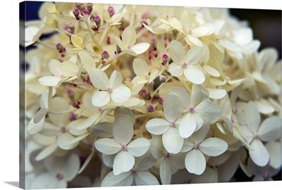 Hydrangea Delight I