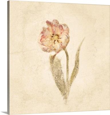 May Wonder Tulip on White Crop