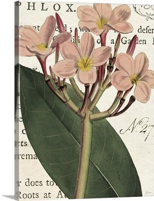 Pink Phlox Botany