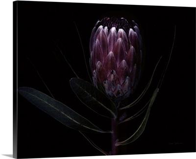 Protea Dark