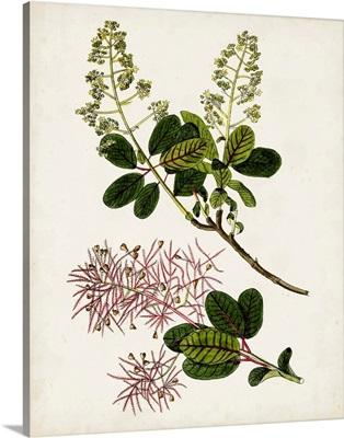 Antique Botanical Study II