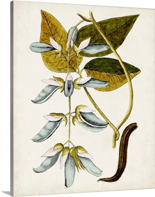 Antique Botanical Study V