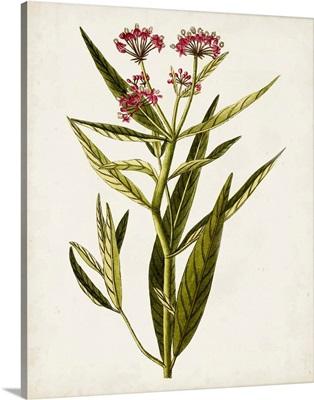 Antique Botanical Study VIII