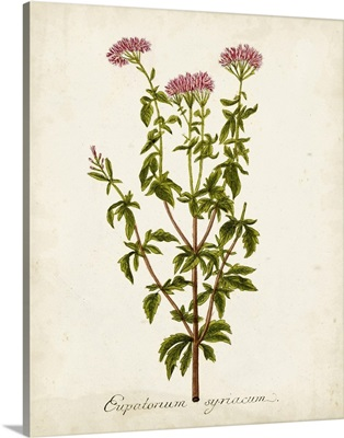 Antique Herb Botanical I