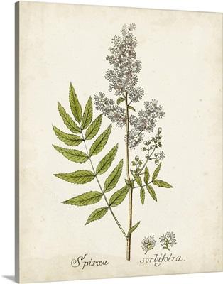 Antique Herb Botanical III