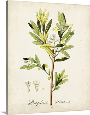 Antique Herb Botanical IV
