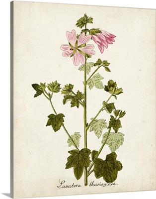 Antique Herb Botanical V