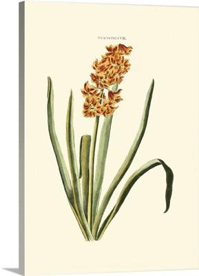 Antique Hyacinth I