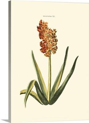 Antique Hyacinth IV