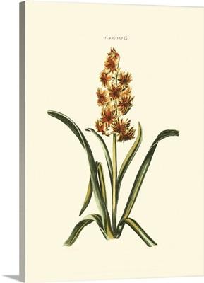 Antique Hyacinth VI