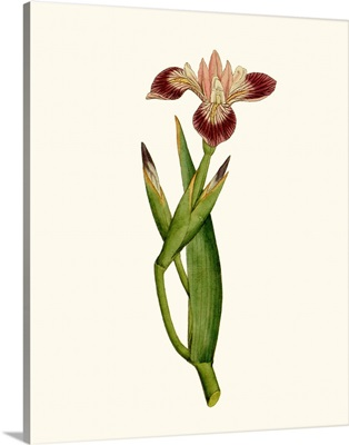 Antique Iris II