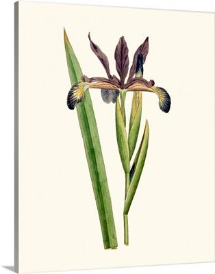 Antique Iris III