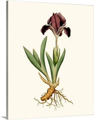 Antique Iris IV