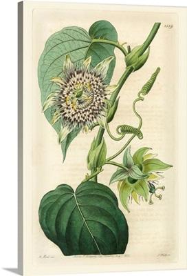 Antique Passionflower I