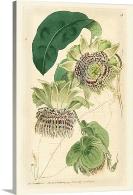 Antique Passionflower II