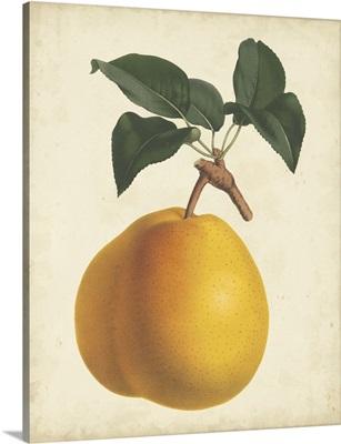 Antique Pear Botanical II
