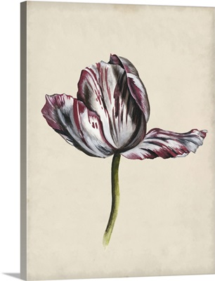 Antique Tulip Study II