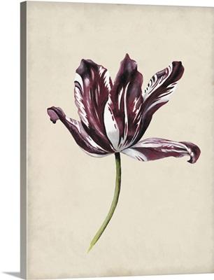 Antique Tulip Study IV