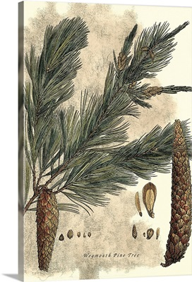 Antique Weymouth Pine Tree