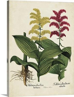 Besler Florilegium II