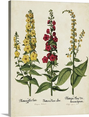 Besler Florilegium III