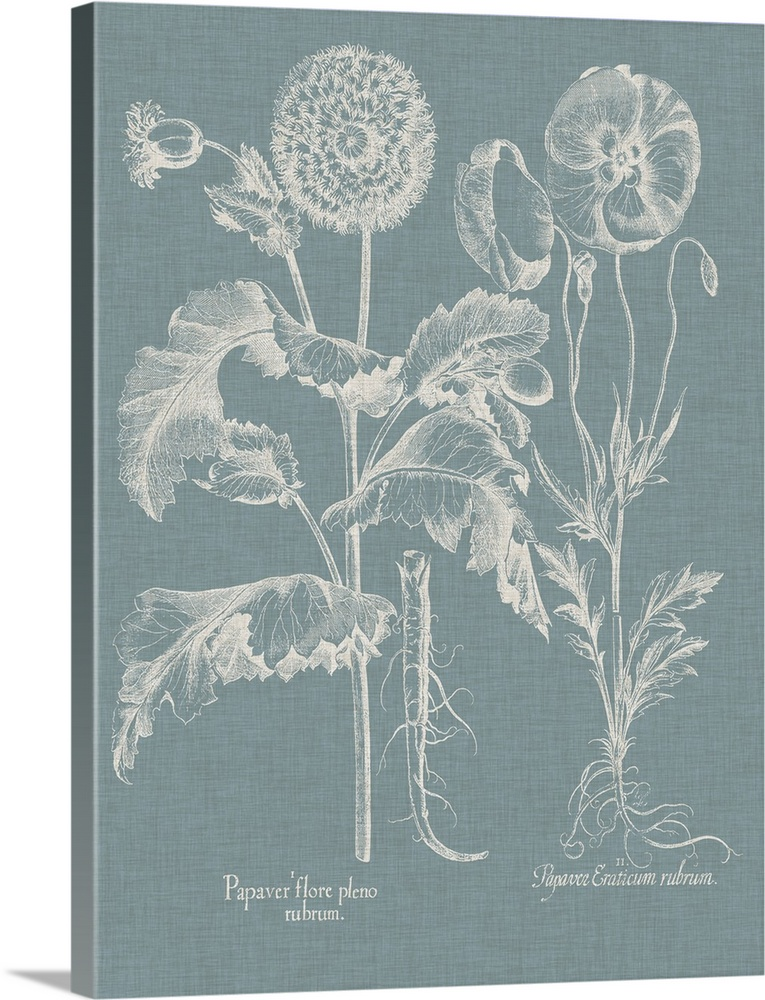 Poppy Basilius Besler Vintage Botanical Art Poster