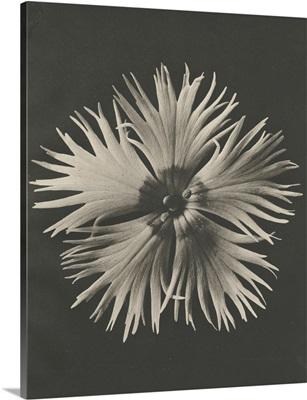 Blossfeldt Flower IV