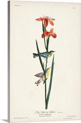 Blue Yellow-Back Warbler