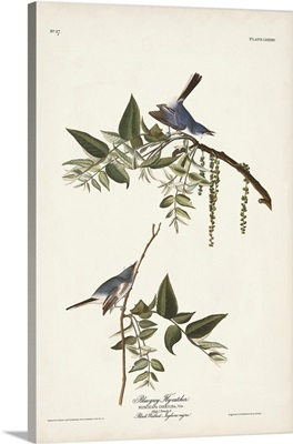 Bluegrey Flycatcher