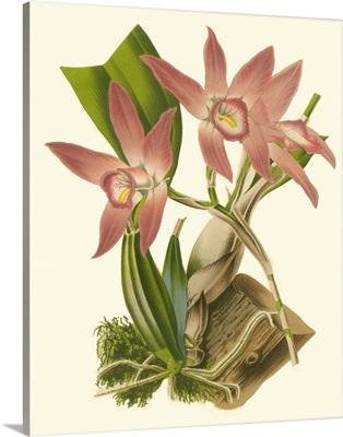 Blushing Orchids I