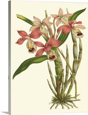 Blushing Orchids II