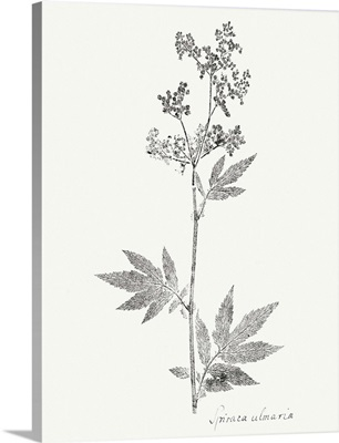 Botanical Imprint II