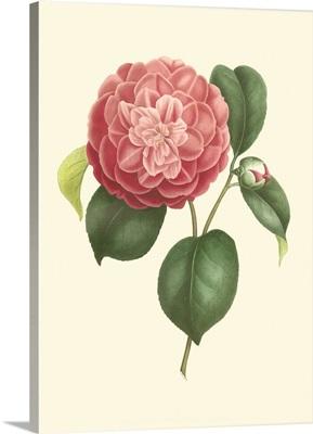 Camellia Blooms I