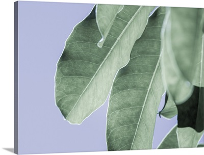 Clear Leaves on Blue II