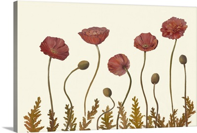 Coral Poppy Display II