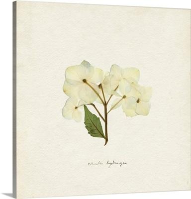 Cornales Hydrangea I
