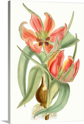 Curtis Tulips I