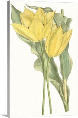 Curtis Tulips II