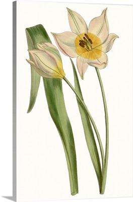 Curtis Tulips III