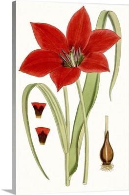 Curtis Tulips IV