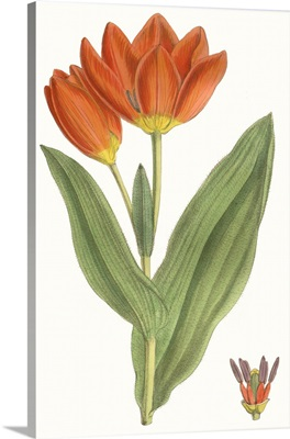 Curtis Tulips IX