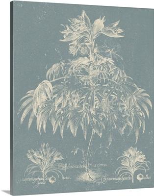 Delicate Besler Botanical I